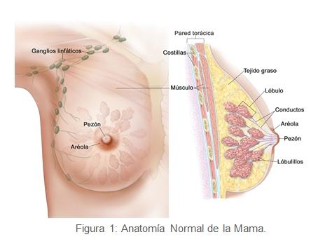 anatomia normal de la mama